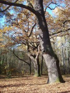 Dęby, las jesienią